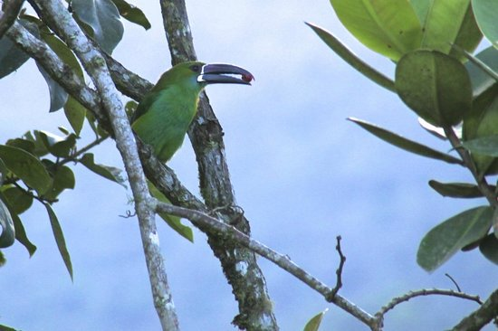 Terrabambu Restaurant Lodge: toucanet feeding on trees by our bungalow