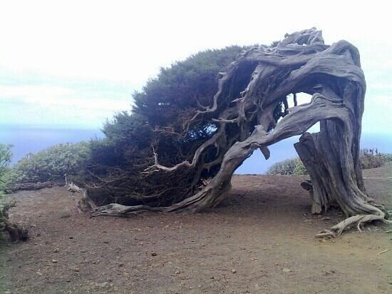 El Hierro, Spagna: Sabina doblegada al viento.