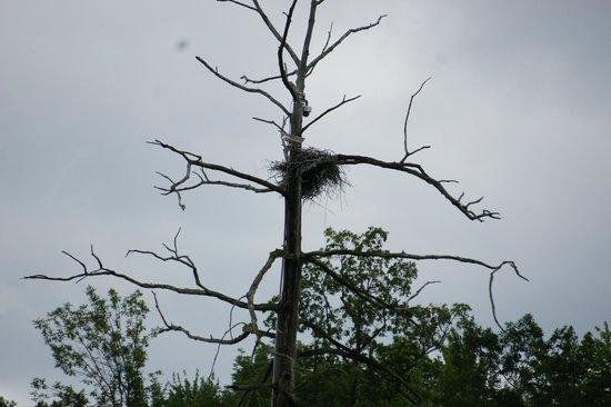 Cornell Lab of Ornithology: Heron's nest