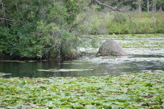 Cornell Lab of Ornithology: Pond