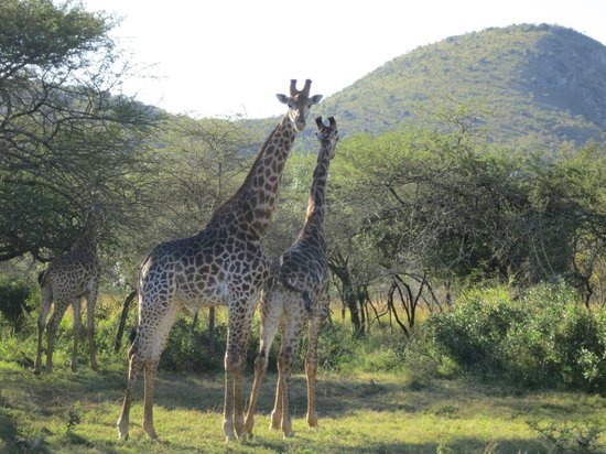 Pakamisa Private Game Reserve : Giraffen - ganz nah