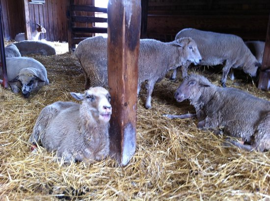 Farm Sanctuary : some baaaaa-dass sheep
