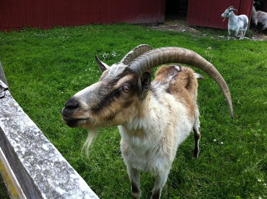 Farm Sanctuary : Ivan