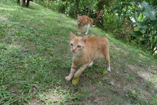Palawan Mangrove Resort: Cats !