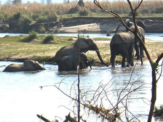 Mana Pools National Park: Elephants going for a swim, right in front of our lodge