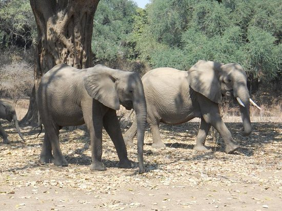 Mana Pools National Park: Elephant family