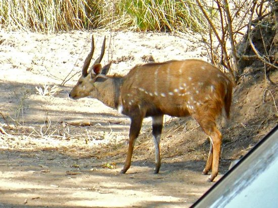 Mana Pools National Park: Bushbuck, picture actually taken from our lodge