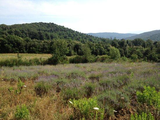 Agriturismo Bio Le Castellacce : i campi di lavanda dietro alla proprietà