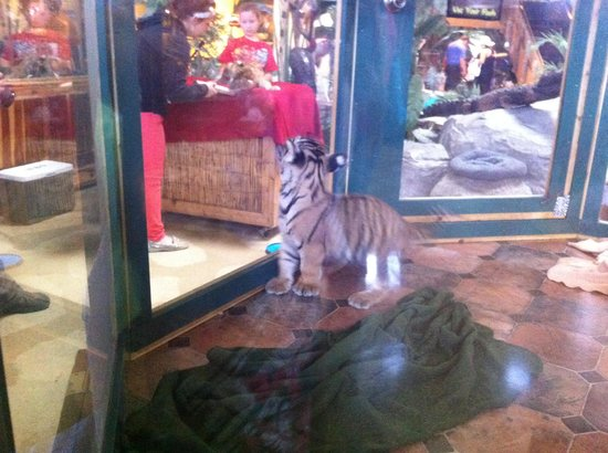 Kalahari Resorts & Conventions: Baby Tigers to Interact With