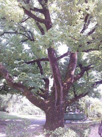 Musée Renoir/Les Collettes : arbre centenaire