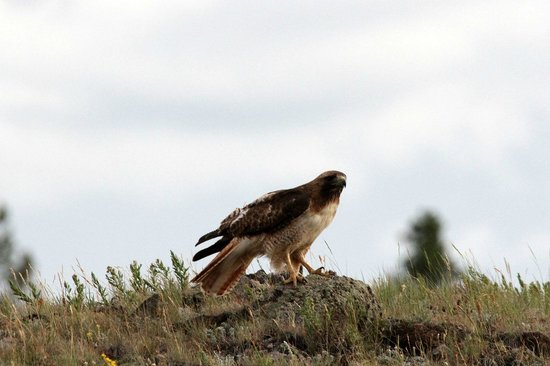 Blacktail Plateau Drive: Red-tailed Hawk