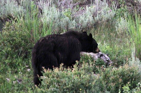 Blacktail Plateau Drive: Black Bear