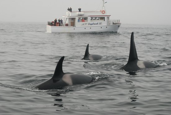 Kelsie's Inn - B & B: Orca Whales from one of our local boat tours