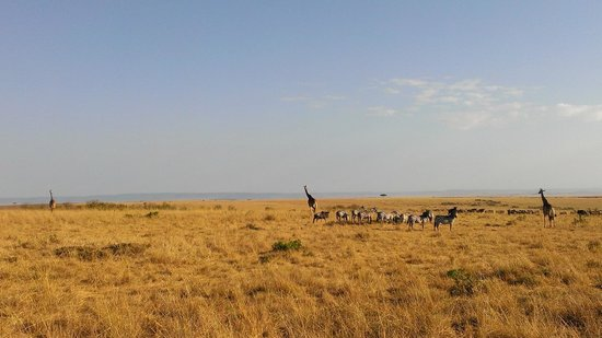 Sala's Camp: maasai mara game drive