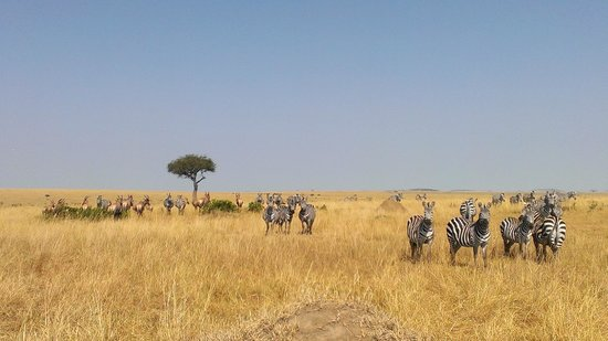 Sala's Camp: maasai mara game drive