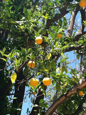 Pepper Tree Retreat: The orange grove.