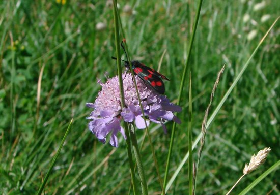 Hotel Cabana : Grindelwald has wonderful butterflies, moths and flowers