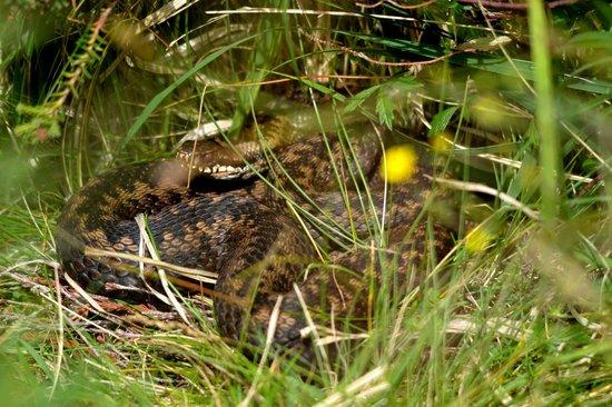 Wild About Mull Wildlife Tours: Female Adder