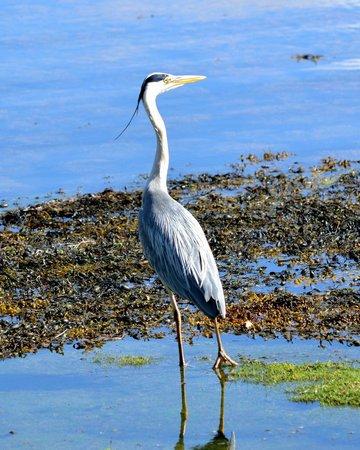 Wild About Mull Wildlife Tours: Grey Heron