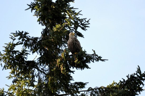Wild About Mull Wildlife Tours : WT Eagle