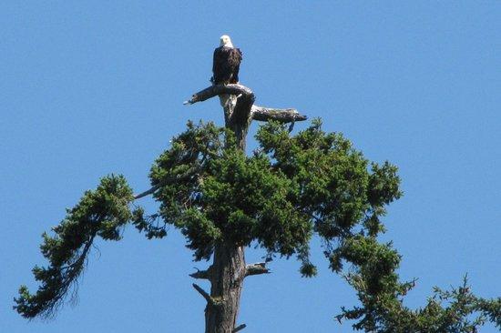 Orcas Island Eclipse Charters: Bald Eagle