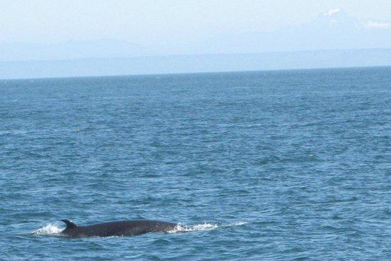 Orcas Island Eclipse Charters: Minke Whale