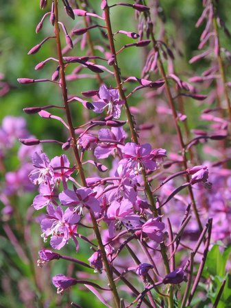 "Snowy Range Scenic Byway: Purple ""Fireweed"""