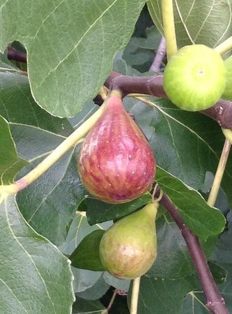 JC Raulston Arboretum at NC State University: Real fig thees