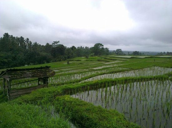 Bali By Quad: Rice Padi Fields