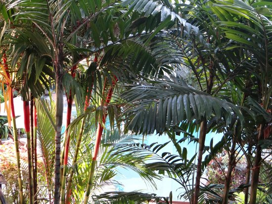 Pullman Palm Cove Sea Temple Resort & Spa: tree view from the balcony (lagoon pool behind it)