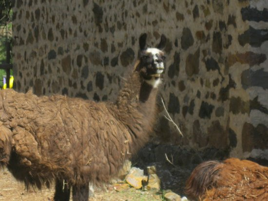Princeton Castle Resort: Llamas on the property