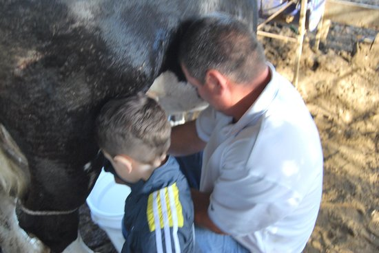 Cabanas Valle Campanas: Milking the cow