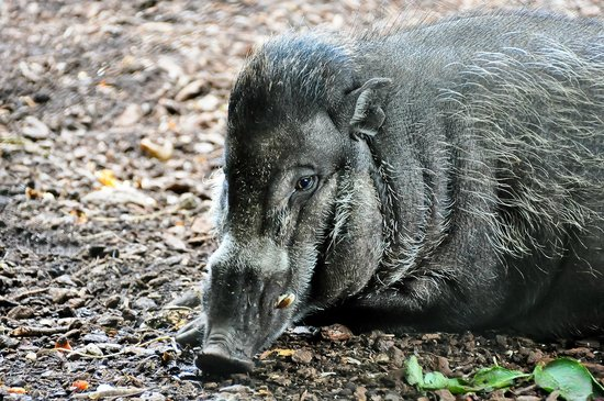 Menagerie du Jardin des Plantes: male wild boar