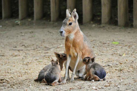 Menagerie du Jardin des Plantes: mara nursing her young ones