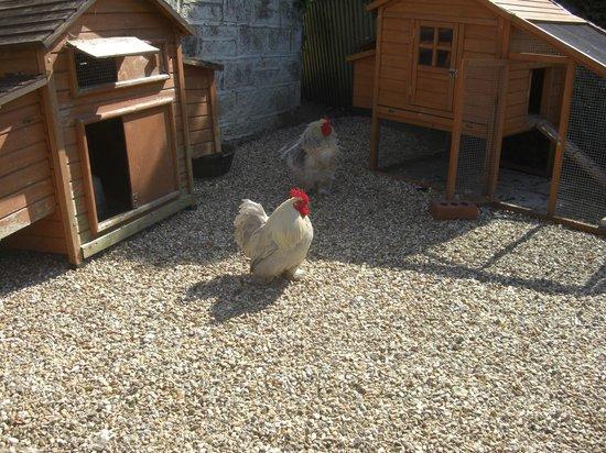 Sandown Manor: Rooster