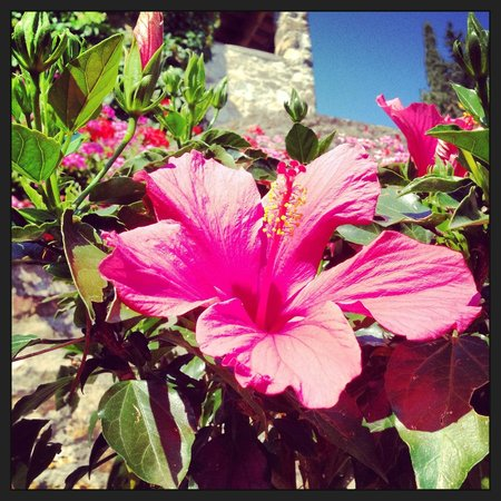 Monte Bernardi: Hibiscus from the garden