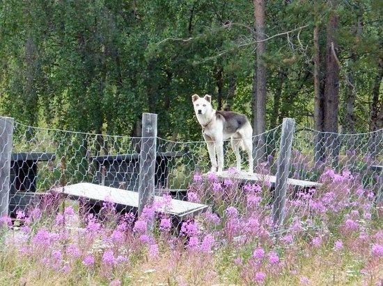 BIRK Husky Accommodation B&B & cabins: Cane da slitta