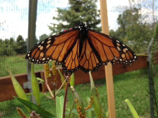 Butterfly Gardens of Wisconsin : Monarch
