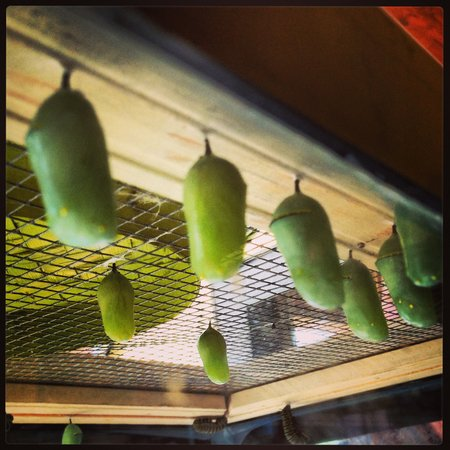 Butterfly Gardens of Wisconsin: Monarch Chrysalis