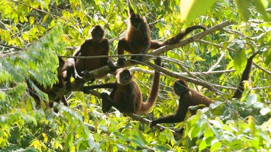 El Remanso Lodge : Spider Monkeys - By La Vainilla