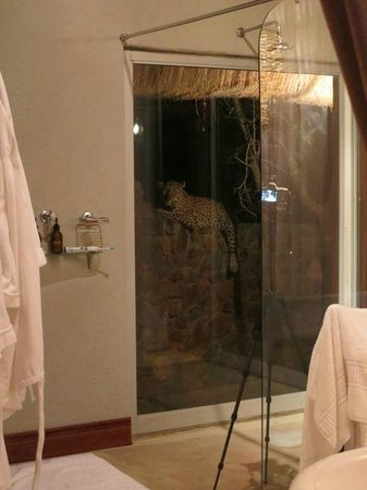 Sabi Sand Game Reserve, Νότια Αφρική: Leopard hanging out on the wall of outdoor shower Room 1