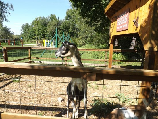 The Lantern Resort Motel and Campground: Petting Zoo