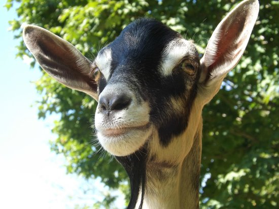 The Lantern Resort Motel and Campground: Goat