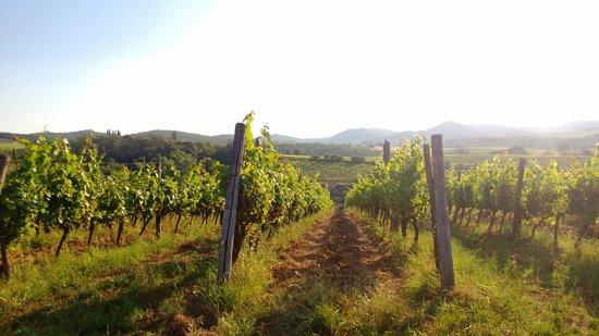 Agriturismo Le Trappoline: Le Trapolline vines