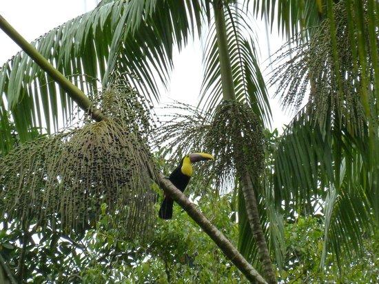 Golfo Dulce Lodge: Tukan aufgenommen im Park des Hotels