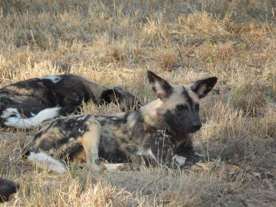 Lion Sands River Lodge : Dogs