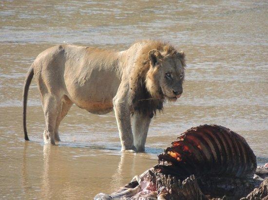 Lion Sands River Lodge : Lion