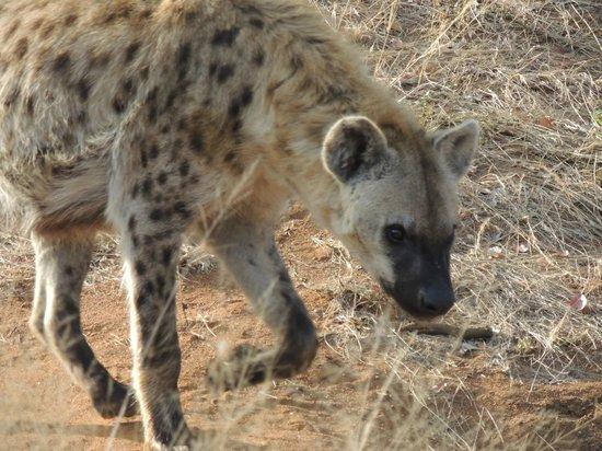 Lion Sands River Lodge: Hyena