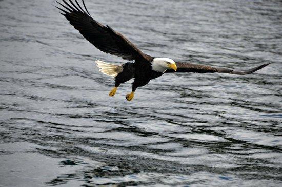 Sitka Secrets : Pygargue à tête blanche - Bald Eagle