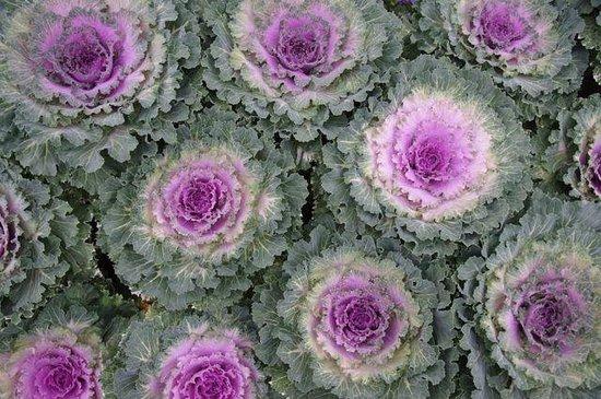 University of Alberta Botanic Garden: Cabbage-like